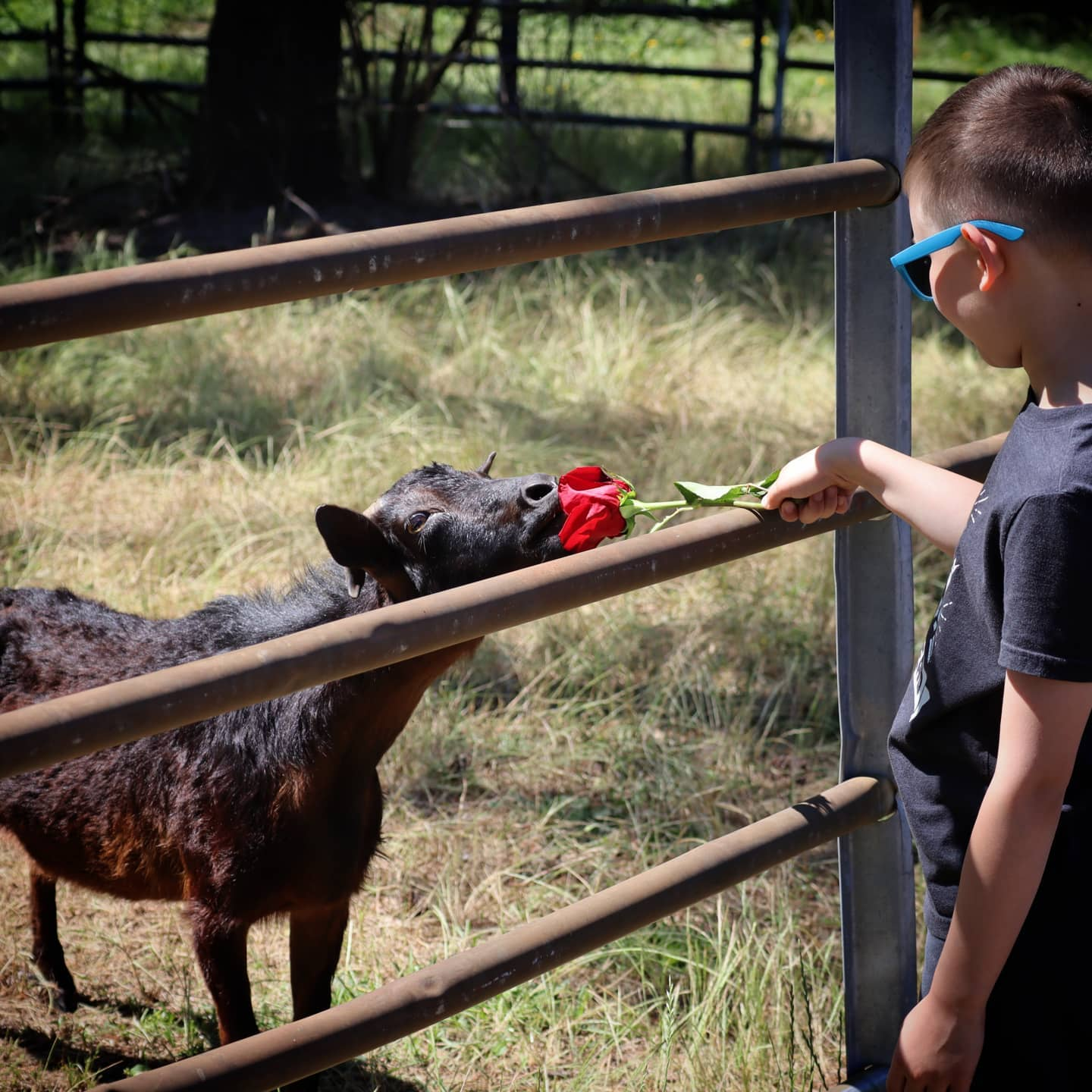 Critically endangered San Clemente Island Goat smells red flower held by child