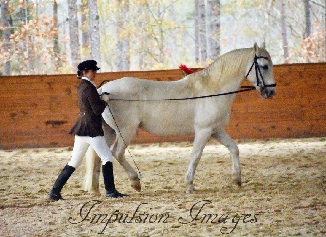 Lipizzan stallion in long reins