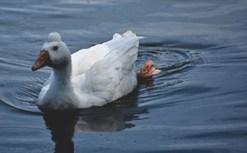 Lone duck swims in pond at Tempus Renatus Farm