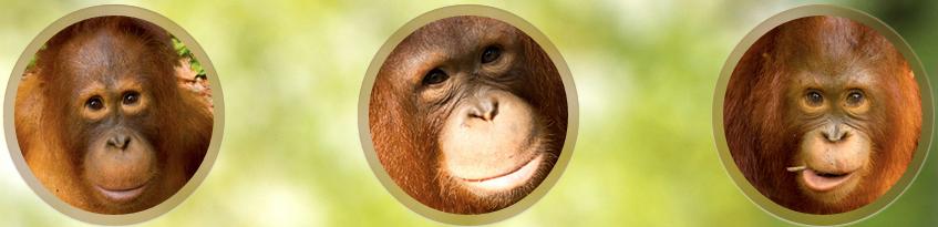 Vimeo dan Orangutan