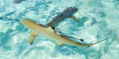 Black-tip reef shark