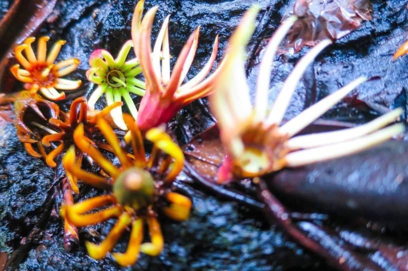 Bunga Bakau (Bruguiera cylindrica)