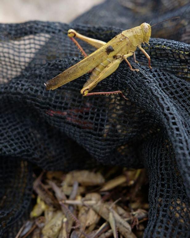 belalang, bahan baku salah satu kuliner gunungkidul
