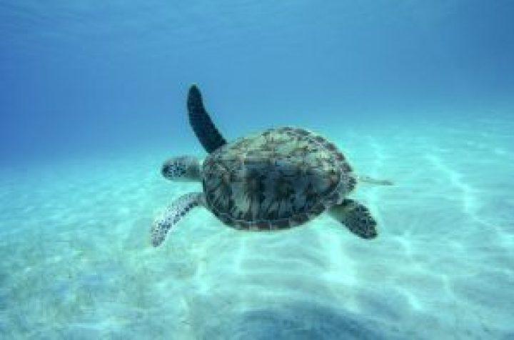 turtle tintamarre st maarten speed boat