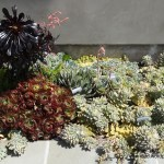 Succulent Garden Ideas Mixed Succulent Beds In A Modern Garden Tended