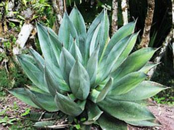 Aloe Vera De las hojas se extrae aloína