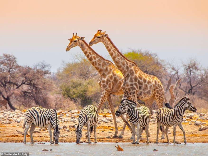 Hit the road on a self-drive tour from Windhoek, Namibia's capital, for a fortnight's adventure into the Namib Desert and on to Etosha National Park (above) for wildlife galore