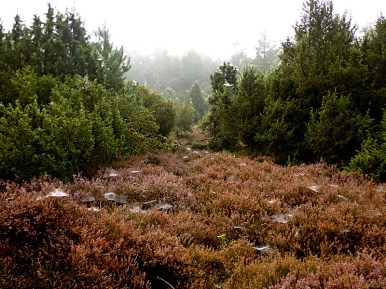 morning webs in the heather