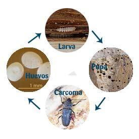 ciclo de larva a carcoma