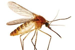 eliminar plaga de mosquitos