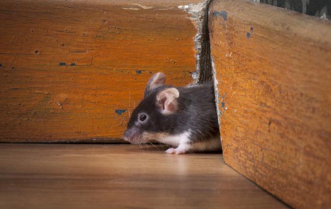 Consejos para evitar a los ratones en tenerife teneplagas - Ratones en casa eliminar ...