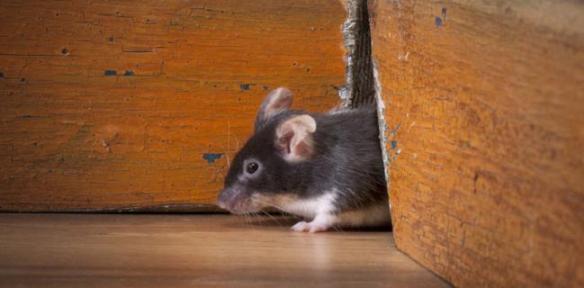 evitar los ratones en tenerife