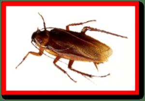 fimigar cucarachas americanas