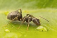 hormiga en una hoja verde