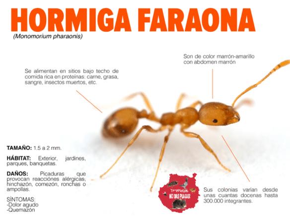 fumigar hormigas en gran canaria hormiga faraona