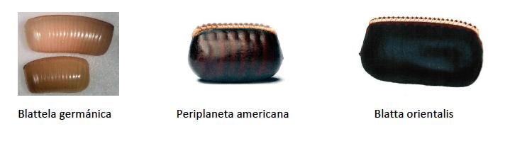 Ootecas de cucarachas