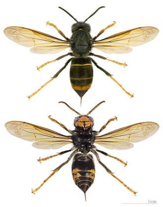 Diferenciar tipos de avispas