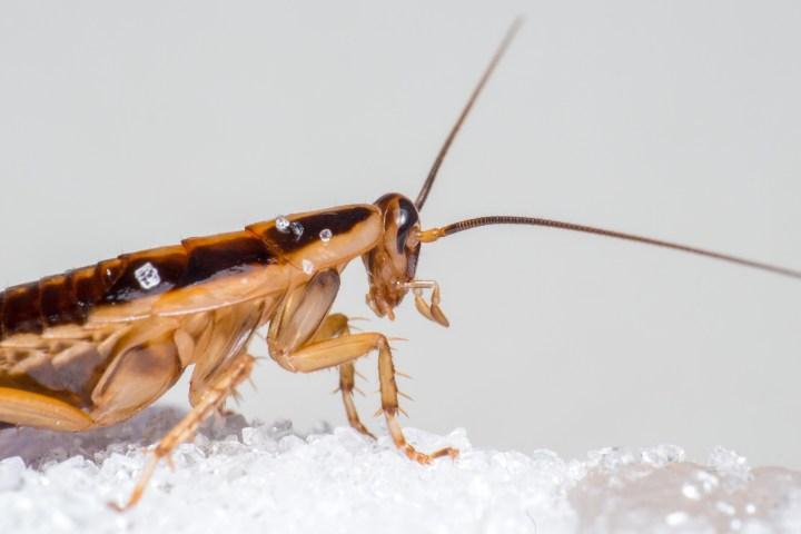 Cucaracha-comiendo-acido-borico