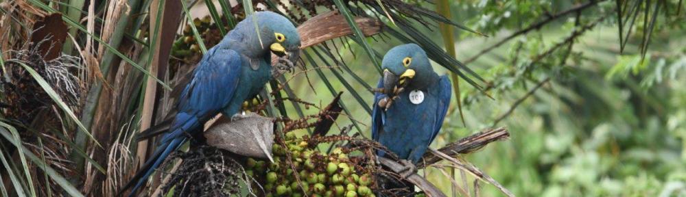 Loro Parque Fundación führt weitere Exemplare des Lear-Aras in ihren natürlichen Lebensraum in Brasilien zurück
