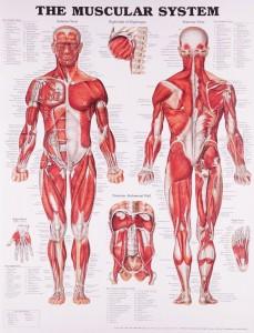 themuscularsystem