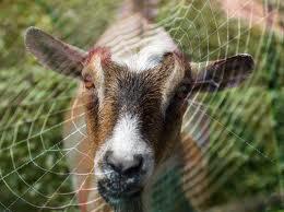 spider_goat