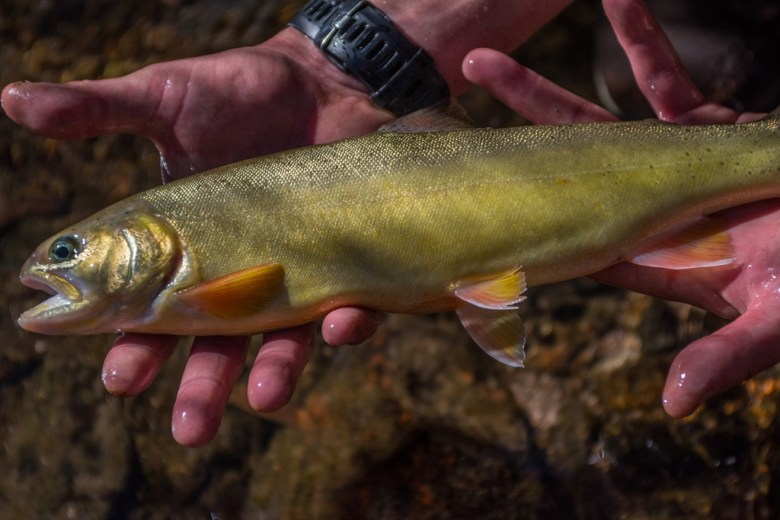 Gila trout stocked in Mineral Creek Gila National Forest photo Craig Springer USFWS resized