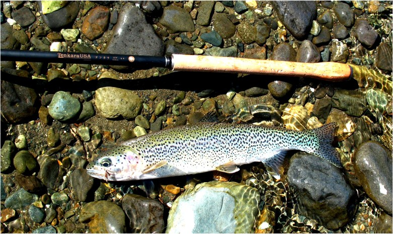 Native Born Rainbow Trout Are the Perfect Tenkara Quarry