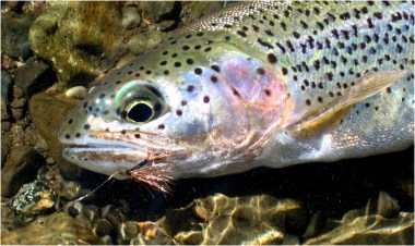 Native Born Rainbow Trout Are Willing Risers to Dry Flies