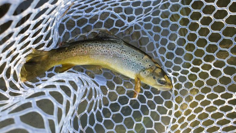 Dragontail FoxFire Review - Tenkara Angler - Matt Sment - Wild Driftless Brown Trout