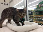 Beau - 8 Mo. Old Brown Tabby Kitten