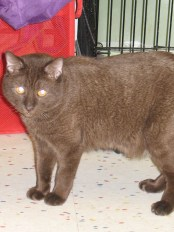 Frappe 2 yr. old Manx Mix