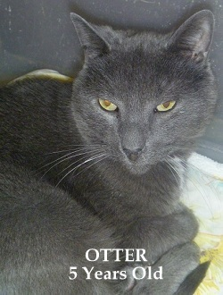 Otter - 5 Yr. Old Russian Blue Mix