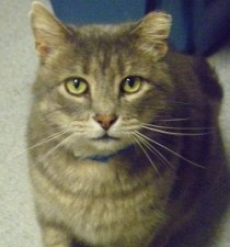 German - Mellow 5-year-old gray male tabby. FIV+.