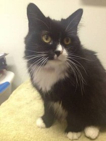 Peacock - Friendly 7-year-old FIV+ long-haired tuxedo female.