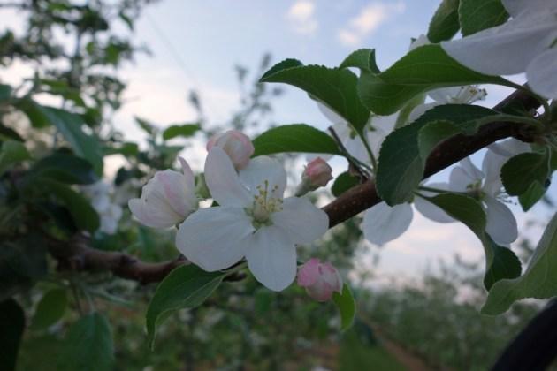 りんごの花 果樹園にて (7)