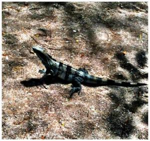 Costa-Rica-Iguana