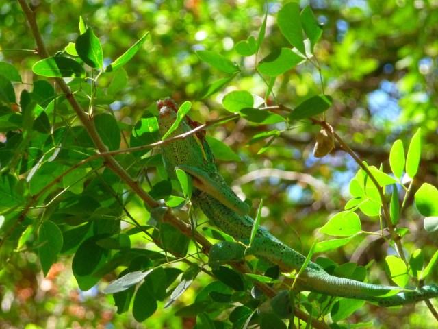 Chameleon leaves green by mwanasImba on Flickr