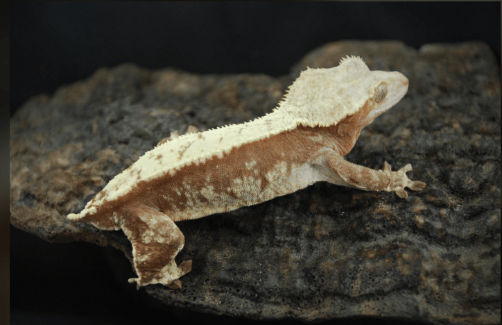 red and cream colored crested gecko with a pinstripe and harlequin pattern good looking breeder female