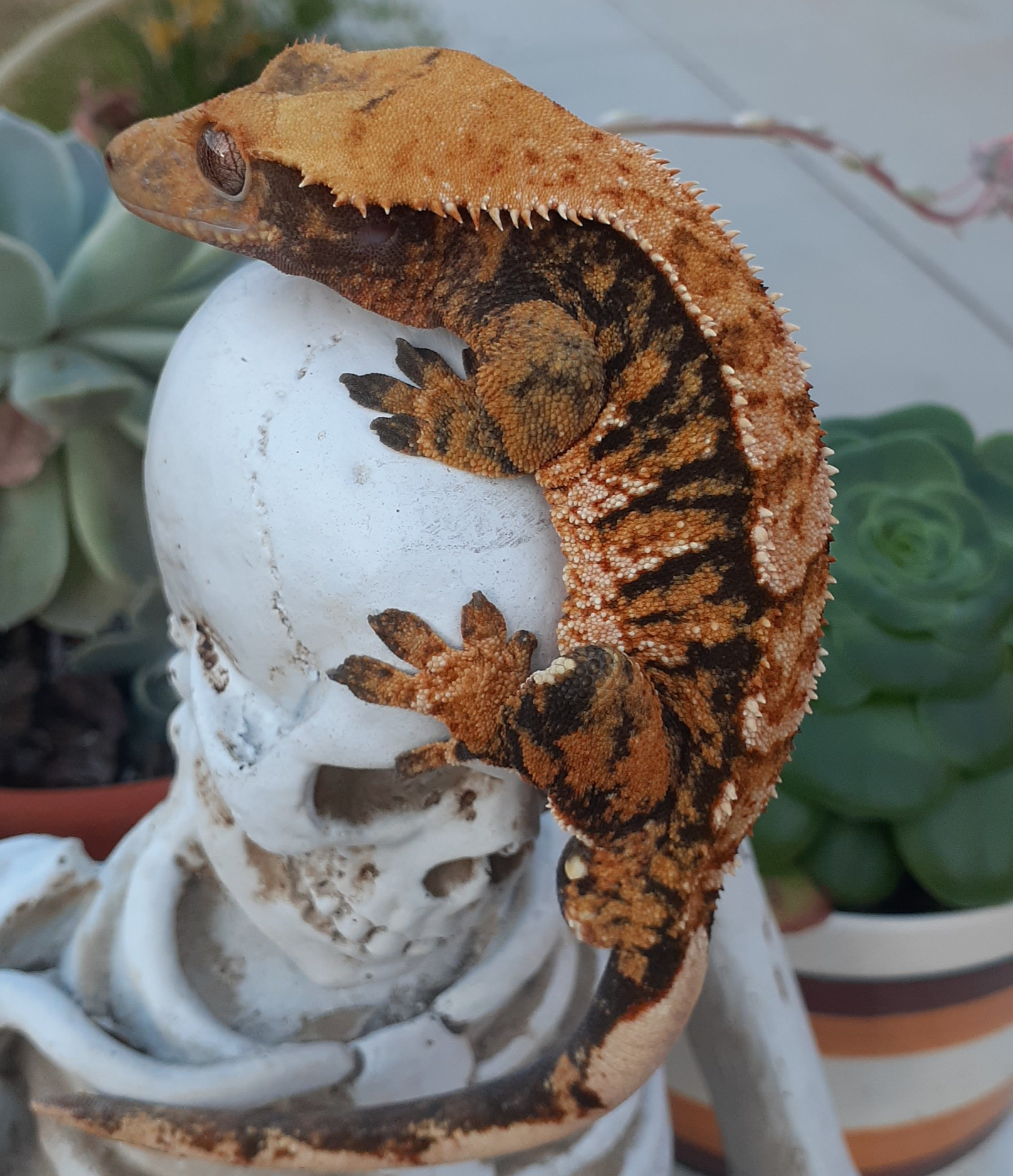 Tricolor Crested Gecko Mud from Altitude Exotics Crested Gecko