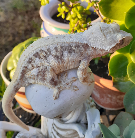 white crested gecko