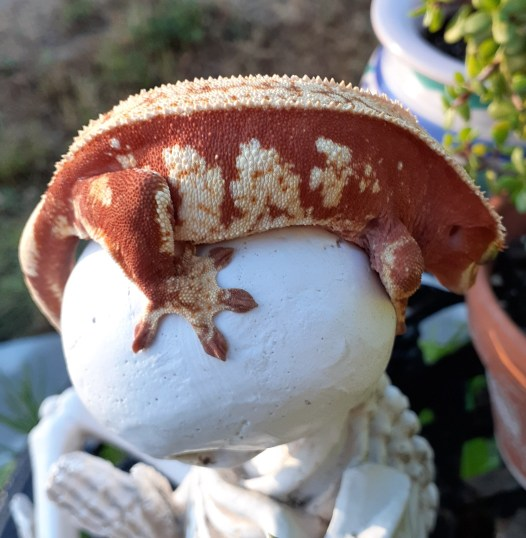 red crested gecko
