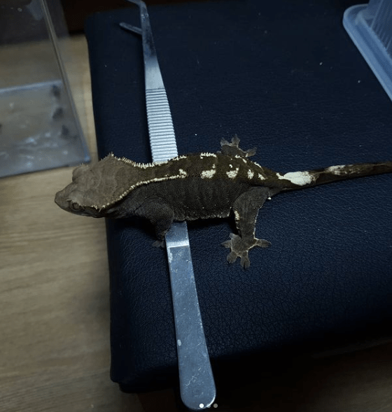 RCK Cappuccino Crested Gecko Melanistic