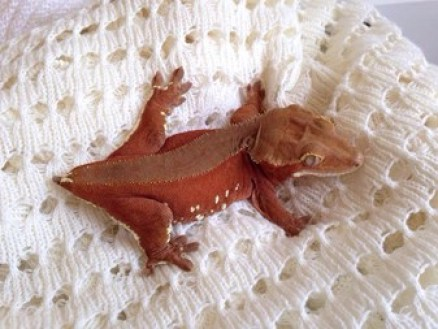 red bicolor or patternless crested gecko