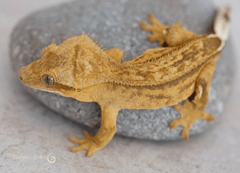 Phantom Pinstripes Crested Gecko Morphs