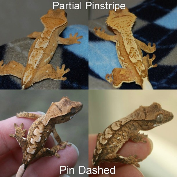 Partial Pinstripes Crested Gecko Morphs