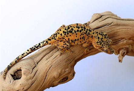 ink spot crested gecko morphs