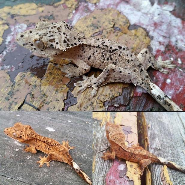 dalmatian crested gecko progression pictures