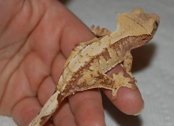 white spot crested gecko morphs