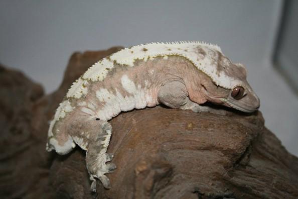 Blush Crested Gecko Morphs