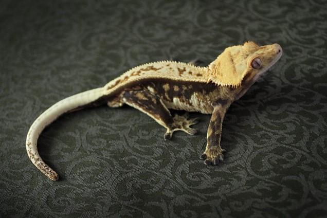 Tricolor Crested Gecko Morphs